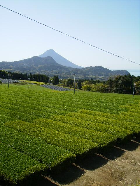 愛香園 茶畑